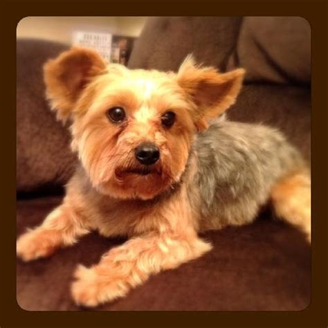 yorkie rescue dallas dallas web page