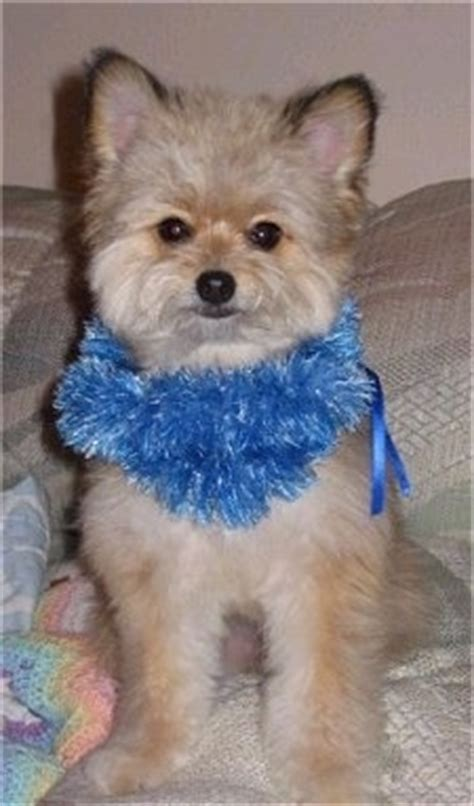pomeranian poodle mix pomeranian poodle mix dogs breeds picture