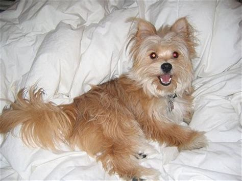 yorkie pomeranian mix temperament yoranian yorkie pomeranian mix info and pictures