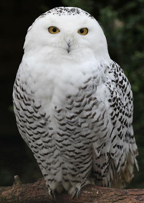 file snowy owl schnee eule jpg wikipedia