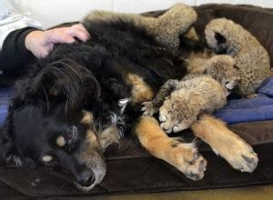 dog c section recovery nursery dog steps in as surrogate parent to cheetah cubs