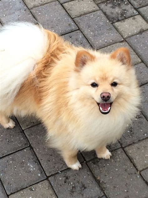 german spitz puppies for sale beautiful german spitz for sale market drayton shropshire pets4homes