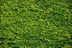 Green Climbing Plants - green wall background of boston ivy stock photo colourbox
