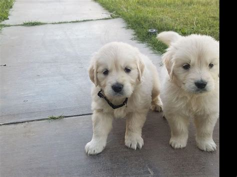 golden retrievers las vegas las vegas golden retrievers golden retriever puppies for sale