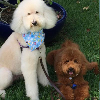 goldendoodle puppy reviews testimonials and reviews of goldendoodle puppies by moss