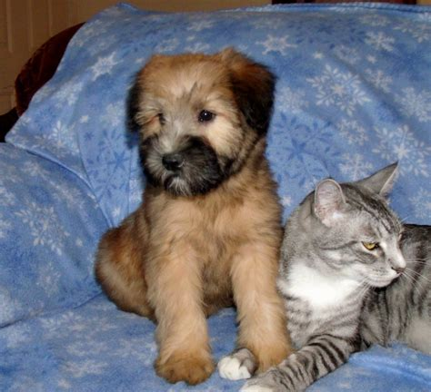 wheaten terrier puppy soft coated wheaten terrier puppies puppies puppy
