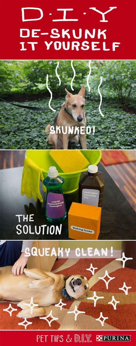 got sprayed by skunk best 25 skunk smell remover ideas on pet