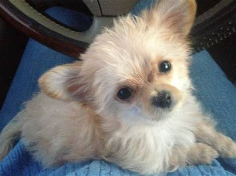 poodle chihuahua mix puppies 21 poodle cross breeds you to see to believe