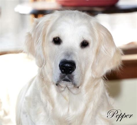 golden retriever breeders va 1000 id 233 es sur le th 232 me golden retrievers blancs sur chiots golden