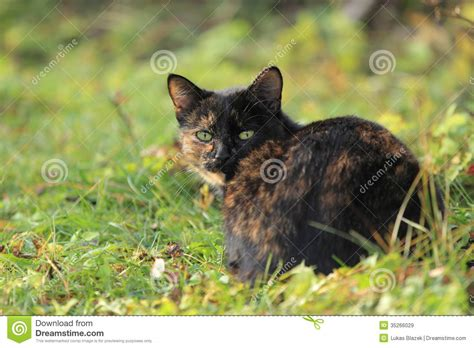 Black-and-brown Cat Royalty Free Stock Images - Image ...