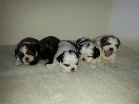tiny shih tzu breeders tiny shih tzu puppies wigan greater manchester pets4homes
