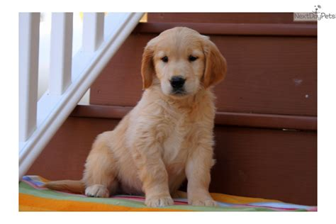 golden retriever puppies for sale near me golden retriever puppy for sale near lancaster pennsylvania 525e5b6a da21