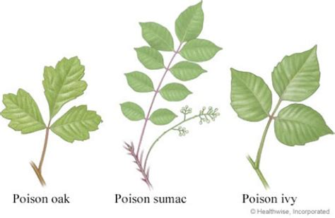 'leaves of three, let it be' tips on identifying poison