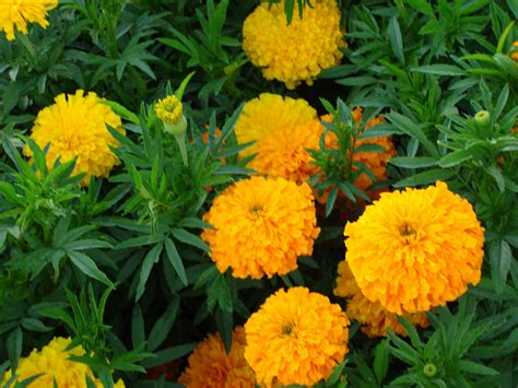 Vase Meaning In Tamil by Anime Marigold Flower Wallpaper Wallpaper Marigold