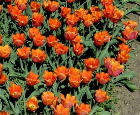 garten tulpe garten tulpe tulipa hybr triumph jimmy pflanzen