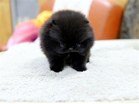 miniature black pomeranian best 25 pomsky for sale ideas on pomsky for sale pomeranian for sale