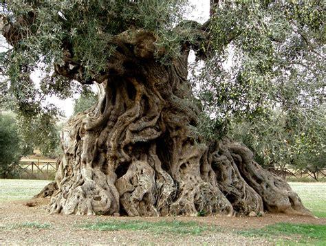 piante di ulivo da giardino vendita piante di ulivo secolari piante mediterranee