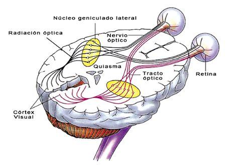 imagenes de las vias visuales el sistema visual humano
