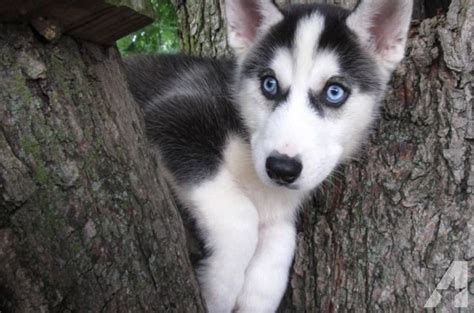 8 week husky puppy adorable siberian husky puppies 8 weeks for sale in delta ohio classified