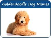 dogs with doodle in name goldendoodle names unique names of goldendoodle
