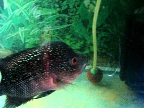 Blitz Icht White Spot Dieseases flower horn fish white spot diseases