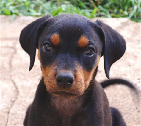 pictures of doberman puppies doberman puppy picture