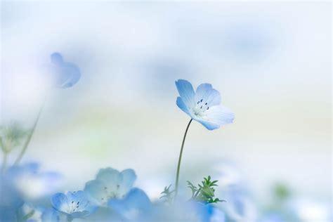 nemophila flower petals summer background hd wallpaper