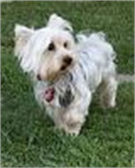 how much is a purebred yorkie white or silver yorkies page 5 yorkietalk forums