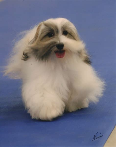 where are havanese dogs from havanese puppies havanese studs havanese breeders minnesota havanese chion puppies