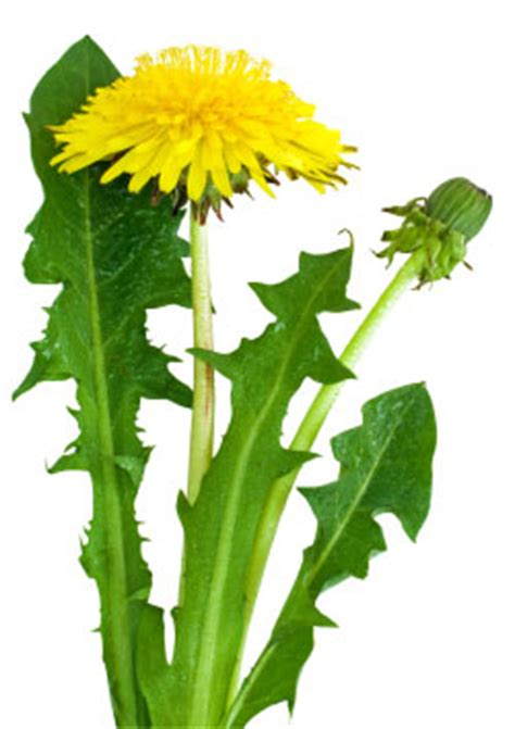 dandelion rubber st keygene and kultevat reach milestones in russian dandelion