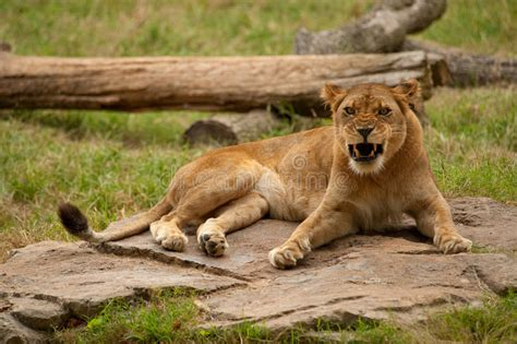 when a lioness growls a s pride books lioness growling stock photography image 13470052