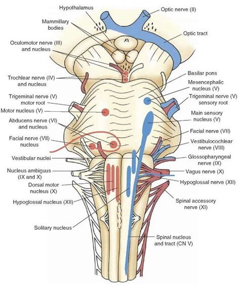 cranial nerve diagram the cranial nerves organization of the central nervous