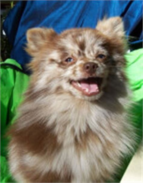 silver merle pomeranian pomeranian breed 187 information pictures more