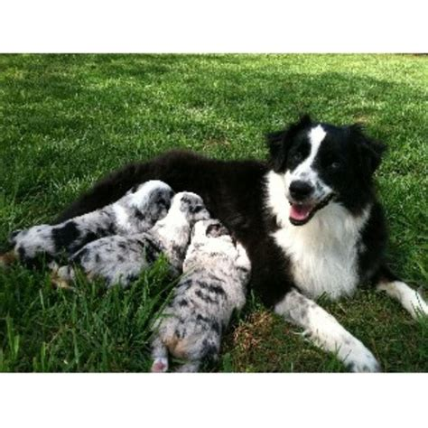 australian shepherd puppies nc free miniature australian shepherd aussie breeders in carolina freedoglistings