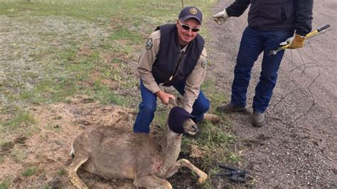 Wildlife officers rescue deer with tomato cage stuck on head 171 cbs