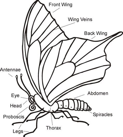 butterfly anatomy worksheet emilysbutterflygarden showing all the stages of a