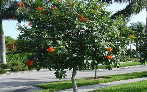 Citrus Tree Nursery by Geiger Tree For Sale North Fort Myers