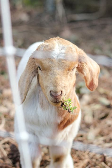 get your goat rentals renting goats for ivy removal a follow up erin spain