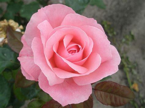 garten pflanzen märz beetrose the elizabeth rosa the elizabeth