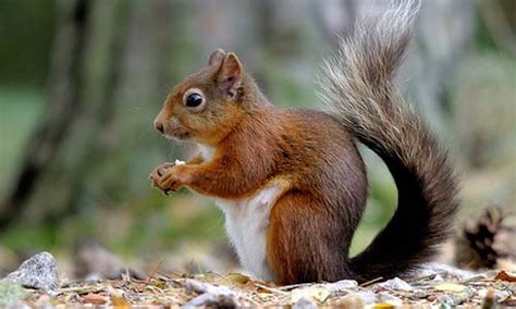 animal seasons squirrels autumn 1848358784 red squirrel sciurus vulgaris 233 cureuil roux jardin perdu