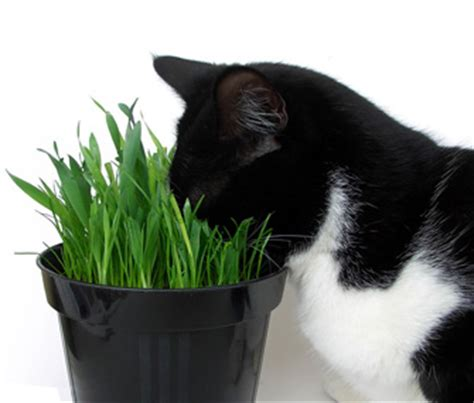 is catnip safe for dogs is catnip safe for kittens as well as cats