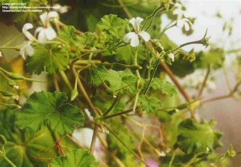 plantfiles pictures scented geranium rachael marie pelargonium by jenica