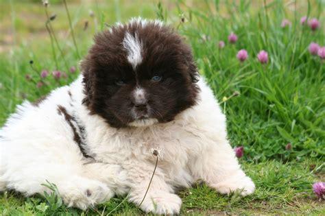 landseer puppies k c registered landseer puppies rugby warwickshire pets4homes
