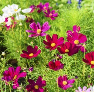 Jual Bibit Bunga Depok jual benih bibit tanaman bunga cosmos murah lengkap bibit