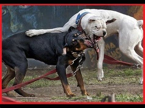 pitbull vs rottweiler fight rottweiler vs pitbull rottweiler vs pitbull real fight amazing f real