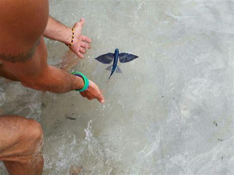 pesce volante pesce volante stupisce i bagnanti a punta prosciutto