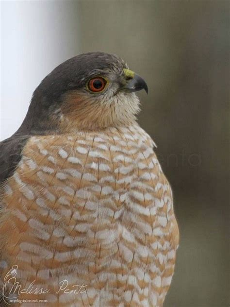 sharp shinned hawk sharp shinned hawk wols other raptors pinterest