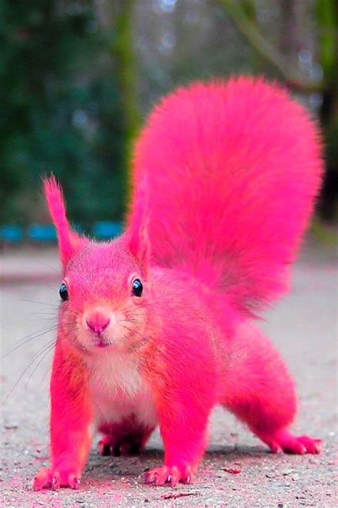 17 best images about the pink squirrel on pinterest trees dog leash and cocktails