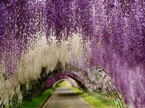 wisteria flower tunnel in japan world s most brilliant flower scenes you ll want to jump into