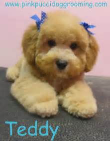 different styles of hair cuts for poodles toy poodle grooming styles an album on flickr